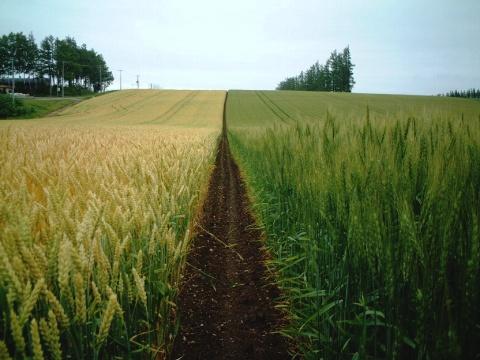 春まき小麦と秋まき小麦